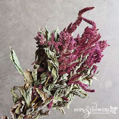 amaranthus dried red
