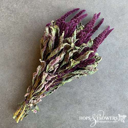 amaranthus red dried flowers