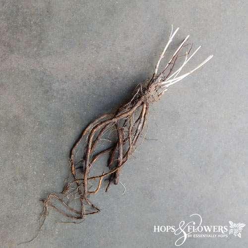 Bare Root Hop Plants