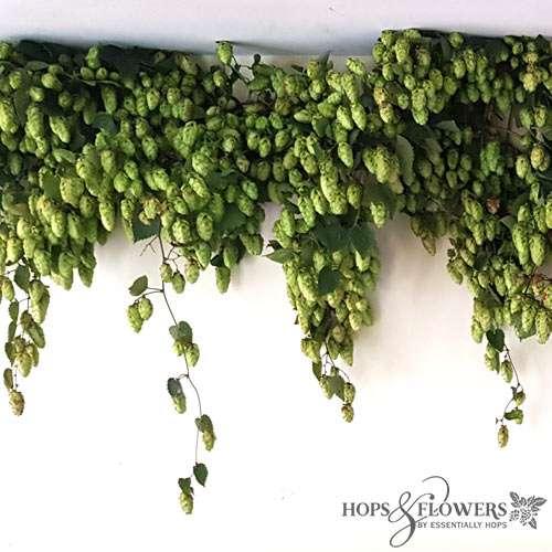 Hops For Decoration