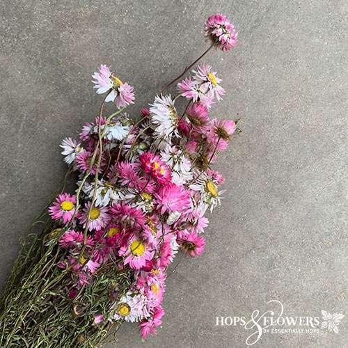 acroclinium pink