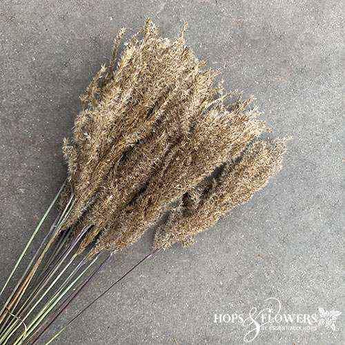 miscanthus dried